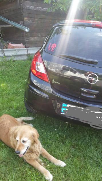 Samolepka na auto- pes v autě